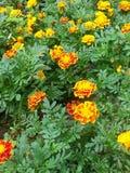 Hübsche Frühlingsblumen Lizenzfreies Stockbild