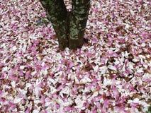Hübsche gefallene Magnolie blüht im April Stockfoto