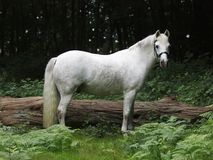 Hübsche Grey Pony Stockfotos