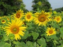 Hübsche Juli-Sonnenblumen in Maryland Stockfotos