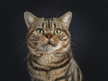 Hübsche junge erwachsene schwarze Amerikanisch Kurzhaar-Katze der getigerten Katze, lokalisiert auf einem schwarzen Hintergrund lizenzfreie stockfotografie