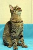 Hübsche junge Katze der getigerten Katze lizenzfreies stockbild