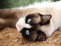Hübsche Katze mit Zuchtschneeschuh der blauen Augen lizenzfreie stockfotografie