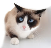 Hübsche Katze mit Zuchtschneeschuh der blauen Augen stockfoto