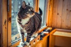 Hübsche männliche Hauskatze in einer Haupteinstellung auf dem Balkonfenster Lizenzfreie Stockfotografie