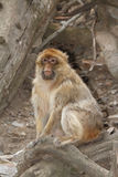Hübsche männliche wilde Barbary-Makaken-Affenahaufnahme Stockbild