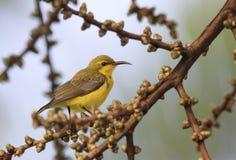 Hübsche Olive unterstütztes sunbird Lizenzfreies Stockbild