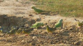 Hübsche Papageien in Grün- und Gelbfärbung suchen nach Lebensmitteln stock video footage