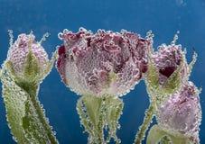 Hübsche Rose im Wasser Stockfoto