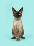 Hübsche sitzende Dichtungspunktdevon-rex Katze mit blauen Augen auf einem tadellosen blauen Hintergrund Stockfotos
