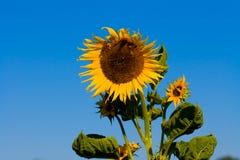 Hübsche Sonnenblume mit hellem blauem Himmel. Lizenzfreie Stockfotografie