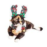 Hübsche Torti-Katze in der Weihnachtsausstattung Stockbilder