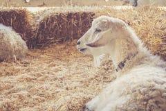 Hübsche weiße Ziege mit luxuriösem Pelz entspannt sich unter Ballen Heu am Land ehrlich lizenzfreies stockfoto