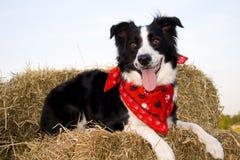 Hübscher Bauernhofhund. Lizenzfreies Stockfoto