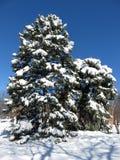 Hübscher Baum nach dem Blizzard Stockfotos