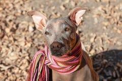 Hübscher blasser Hund im hellen abgestreiften Schal auf dem Herbst-/Fallhintergrund stockfotos