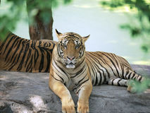 Hübscher Blick der Tigerhaltung Stockfotografie