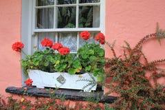 Hübscher Blumenkasten mit Pelargonien auf rosa Wand des Hauses Stockfotografie