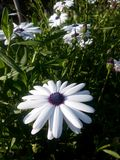 Hübscher Blumenmorgenglanz viele blüht nur fokussiertes ein Lizenzfreie Stockfotos