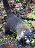 Hübscher Coati im Costa Rica-Dschungel Central- americanwaschbären Stockfotografie