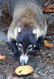 Hübscher Coati im Costa Rica-Dschungel Central- americanwaschbären Stockbild