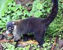 Hübscher Coati im Costa Rica-Dschungel Central- americanwaschbären Stockfoto