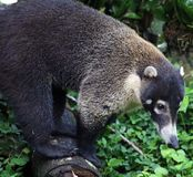 Hübscher Coati im Costa Rica-Dschungel Central- americanwaschbären Lizenzfreie Stockbilder