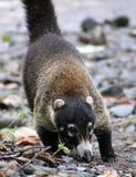 Hübscher Coati im Costa Rica-Dschungel Central- americanwaschbären Lizenzfreie Stockfotografie