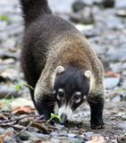 Hübscher Coati im Costa Rica-Dschungel Central- americanwaschbären Lizenzfreie Stockfotos