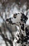 Hübscher Dalmatiner Stockfotos