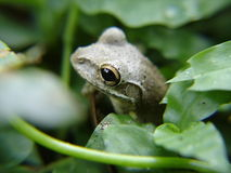 Hübscher Frosch, der durch Blätter späht Stockfotografie