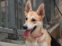 Hübscher Hund (Canis Lupus familiaris) Stockbilder