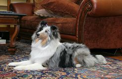 Hübscher Hund im Wohnzimmer Stockbild