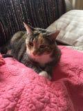 Hübscher Junior Tabby Tortoishell Female Cat lizenzfreie stockfotos