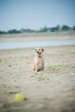 Hübscher Labrador-Apportierhund Lizenzfreie Stockfotos