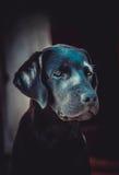 Hübscher Labrador-Apportierhund Lizenzfreies Stockfoto