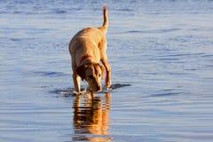 Hübscher Labrador-Apportierhund Stockfotos