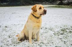 Hübscher Labrador-Apportierhund Stockfoto