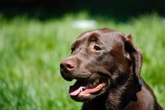 Hübscher Labrador-Apportierhund lizenzfreie stockbilder