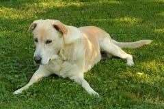 Hübscher Labrador-Apportierhund Stockbild