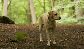 Hübscher Labrador-Hund Lizenzfreies Stockbild