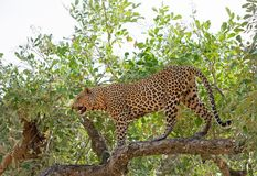 Hübscher männlicher afrikanischer Leopard, der vollen Rahmen in einem vibrierenden gree Baum in Süd-luangwa Nationalpark, Sambia, Stockfotografie