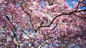 Hübscher Magnolien-Baum stock video footage