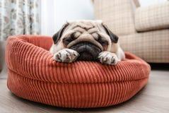 Hübscher Pug schläft auf seinem Ruhesessel stockfoto