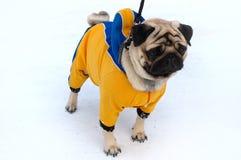 Hübscher Pughund in der Winteroberbekleidung. Lizenzfreies Stockfoto