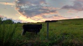 Hübscher Sonnenuntergang und Kühe stockfotos