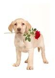 Hübscher stehender blonder labrador retriever-Welpe, der die Kamera gegenüberstellt Stockbild