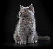 Hübsches Britisch Kurzhaar-blaues Kätzchen auf schwarzem Hintergrund Lizenzfreie Stockbilder