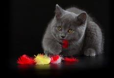 Hübsches Britisch Kurzhaar-blaues Kätzchen auf schwarzem Hintergrund Stockfotografie