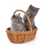 Hübsches Britisch Kurzhaar-blaues Kätzchen im Korb Stockfotografie